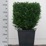30cm kubus in vierkante  25cm pot