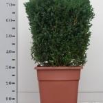 35cm kubus in vierkante 30cm pot