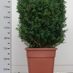 40cm kubus in vierkante 30cm pot
