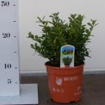bodembedekker - buxus microphylla herrenhausen p13
