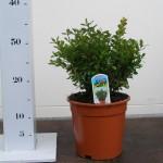 buxus microphylla herrenhausen p17