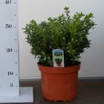 bodembedekker - buxus microphylla herrenhausen p19