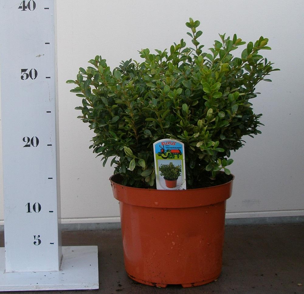 buxus microphylla herrenhausen p19