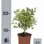 bodembedekker - buxus microphylla herrenhausen p9