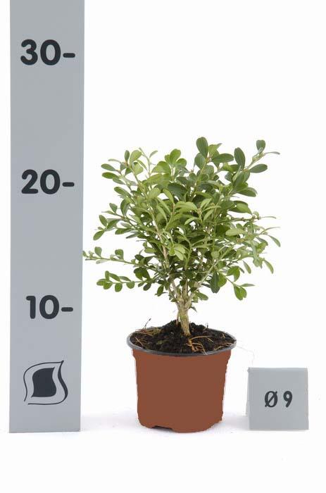 buxus microphylla herrenhausen p9