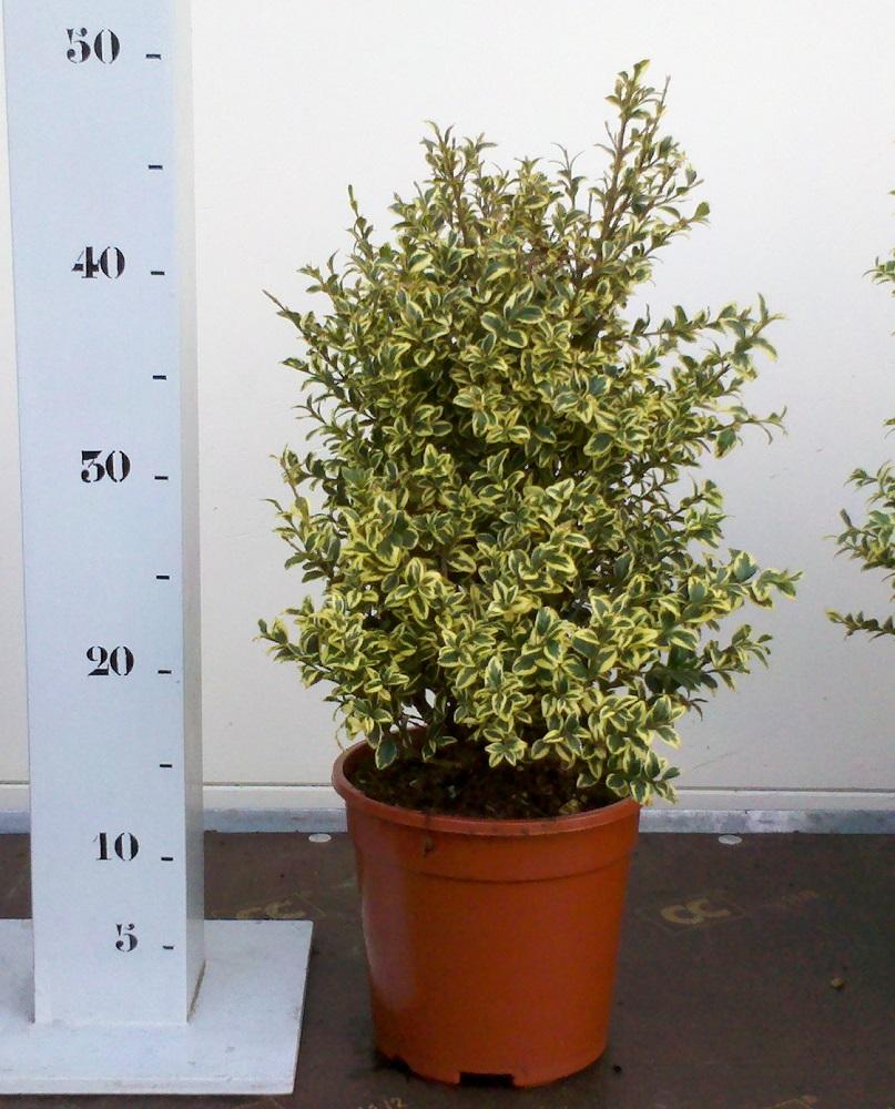 Buxus Sempervirens Elegans 25-30 p17